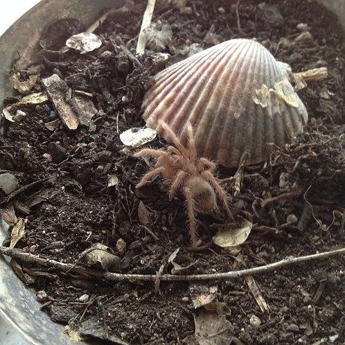 Acromantula baby