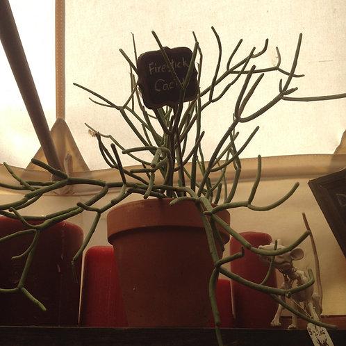 Firestick cactus