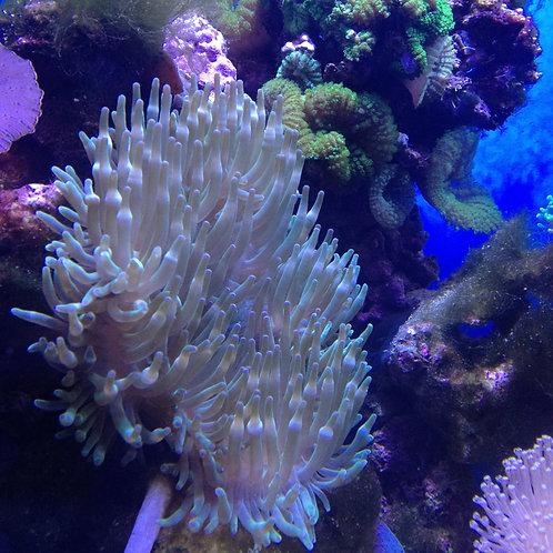 green bubble-tip sea anemone
