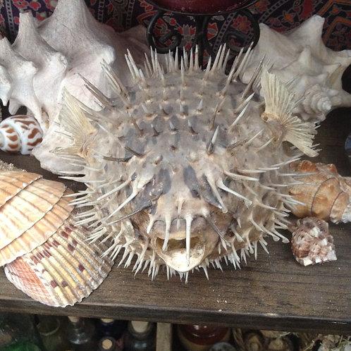 dried pufferfish
