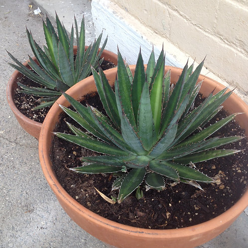 small cold-hardy agave