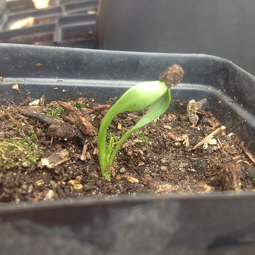 mandrake seedling