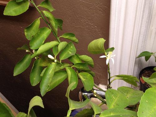 Bearrs lime tree