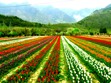 1.5 million Tulip bulbs to be planted during Tulip show 2021