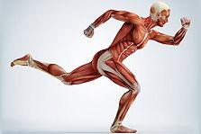 muscle-corps-humain.jpg