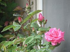 _rose of spring.jpg