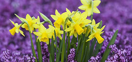 01.daffodils_1160_545_90.jpg