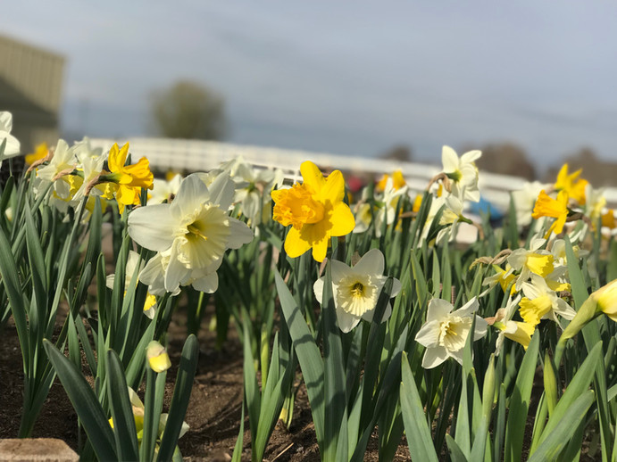 Daffodils from the farm