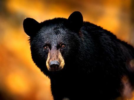 National Black Bear Day.