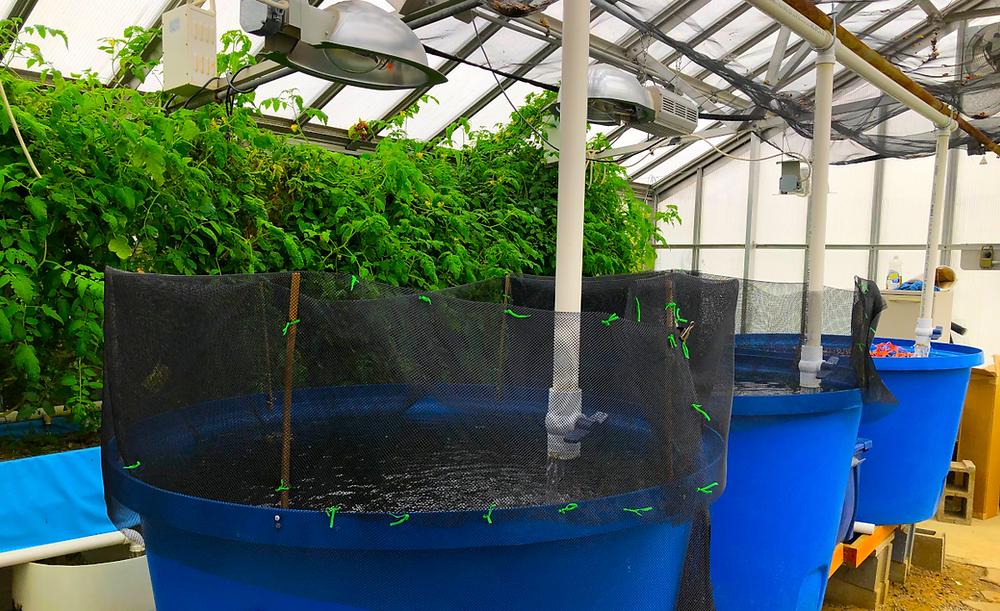 Aquaponics set up in a greenhouse