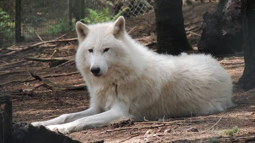 Loup blanc.jpg