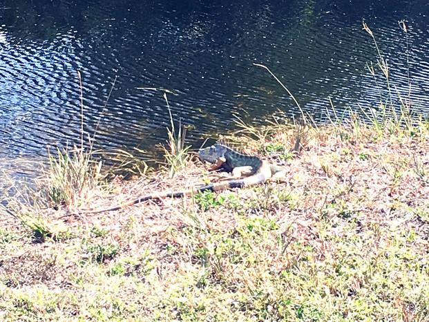 zone marécageuse, les iguanes sont partout!