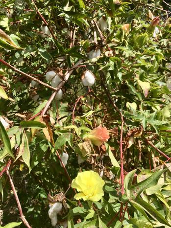L'arbre à coton