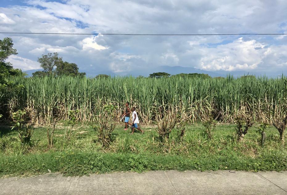 Les plantations de cannes à sucre