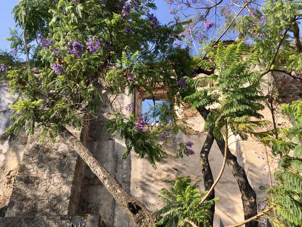 Le sublime Jacaranda et ses fleurs mauves