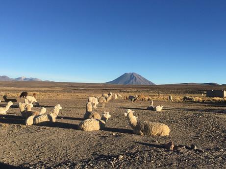 Les alpacas