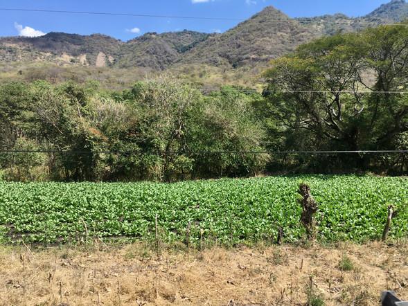 Les plantations de tabac, Esteli