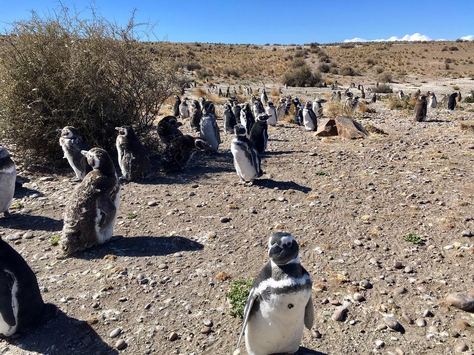Notre rencontre avec les fabuleux pingouins de Magellan