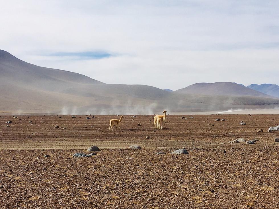 Las vicuñas