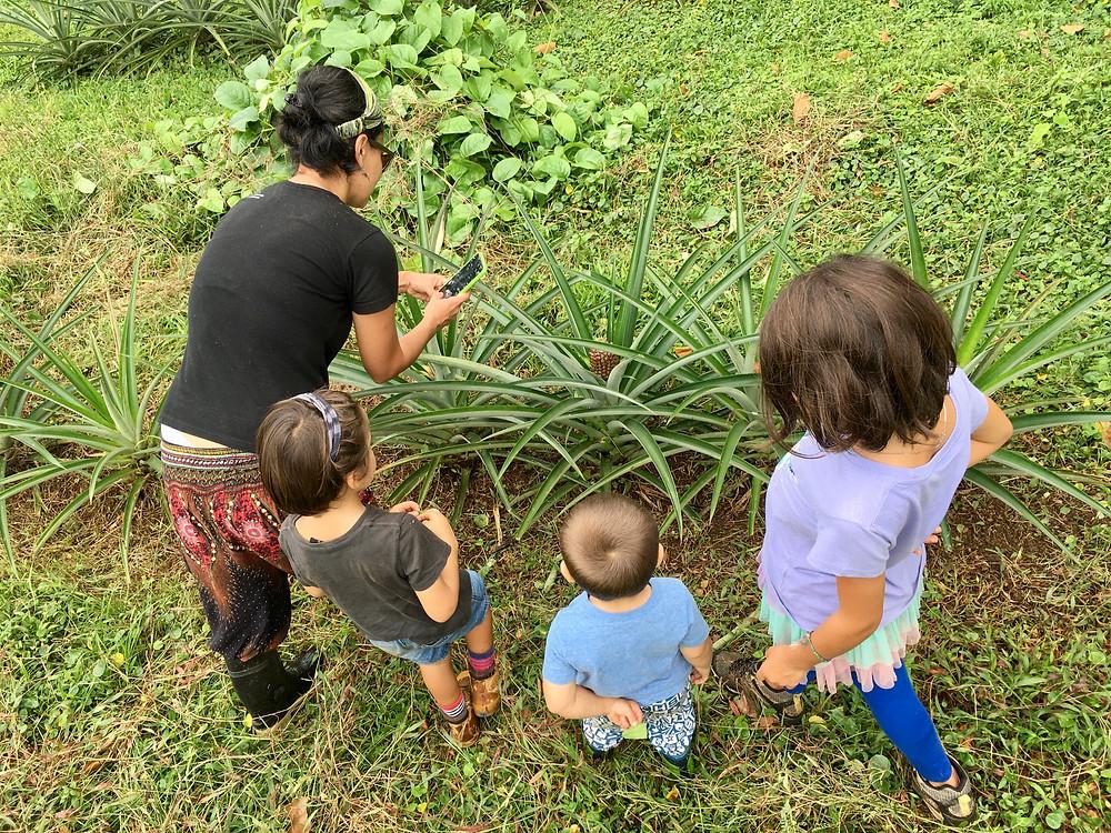 Chez Maria, Valentin et Emile, on observe pousser les ananas