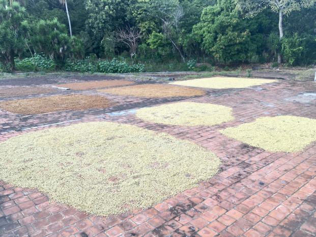Séchage des grains de café chez Juan Pablo