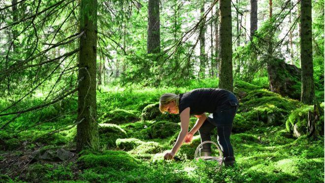 Las bayas o frutas del bosque son un ingrediente habitual de la dieta nórdica. SITIKKA / GETTY IMAGES