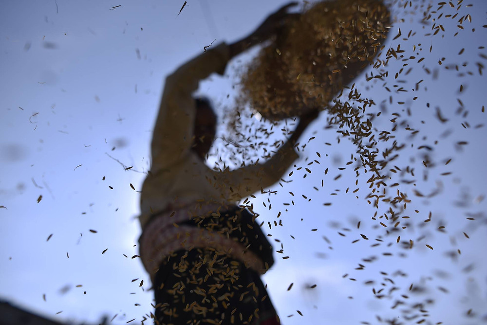 Una mujer separa granos de arroz de otros cereales y glumas. GETTY