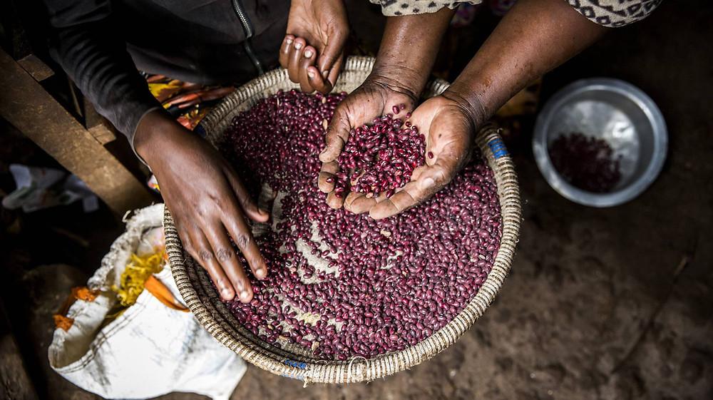 Una mujer coge un puñado de legumbres, en Kenia. LUIS TATO (FAO)
