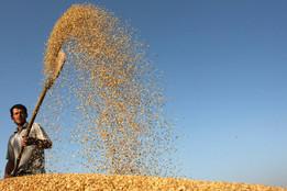 Los tres cereales que nos alimentan desde hace milenios