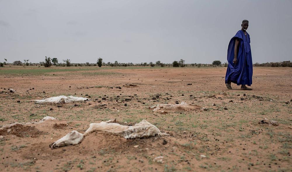Animales muertos a causa de la sequía en Senegal. LYS ARANGO ACCIÓN CONTRA EL HAMBRE)