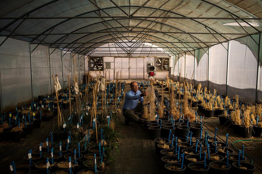 Ali Shehadeh, un conservacionista de plantas originario de Siria que huyó de la guerra en su país, en su trabajo en Terbol, Líbano Credit Diego Ibarra Sánchez para The New York Times