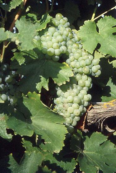 Sauvignon Blanc druen