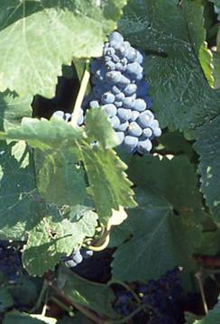 Vindruen Pinot Noir