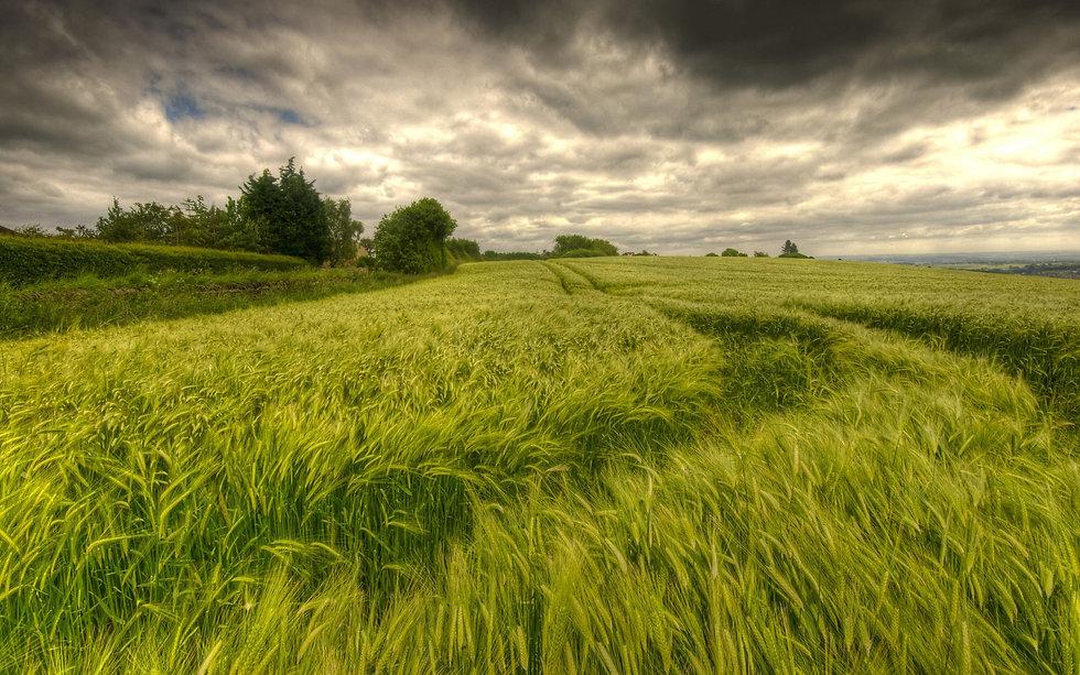 Summer-wheat-field.jpg