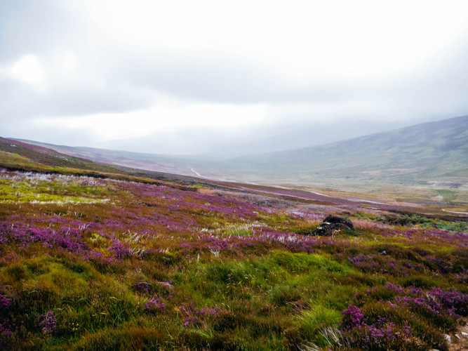 Heather in bloom in the hills