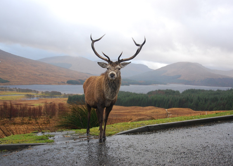 Stag on road