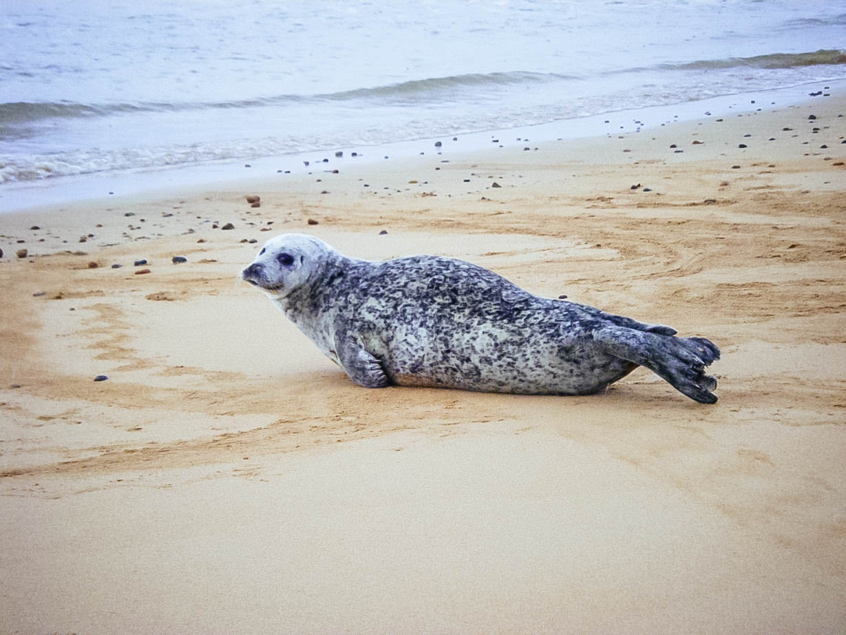 A seal at Brora beach