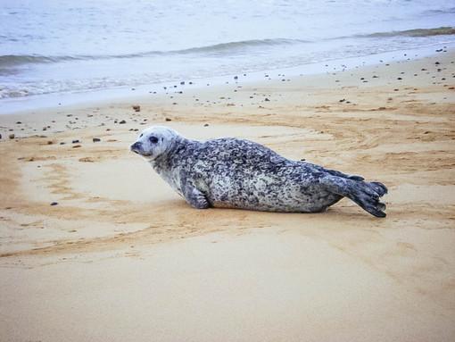 A seal at Brora beach