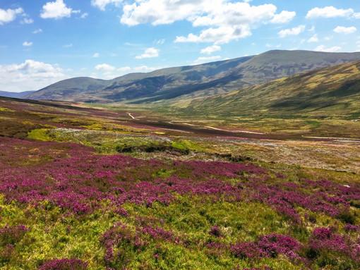 Bell heather in bloom