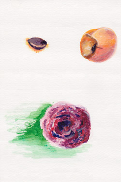 Image: Watercolor painting from the book, apricot pit, bitten apricot, and a rose
