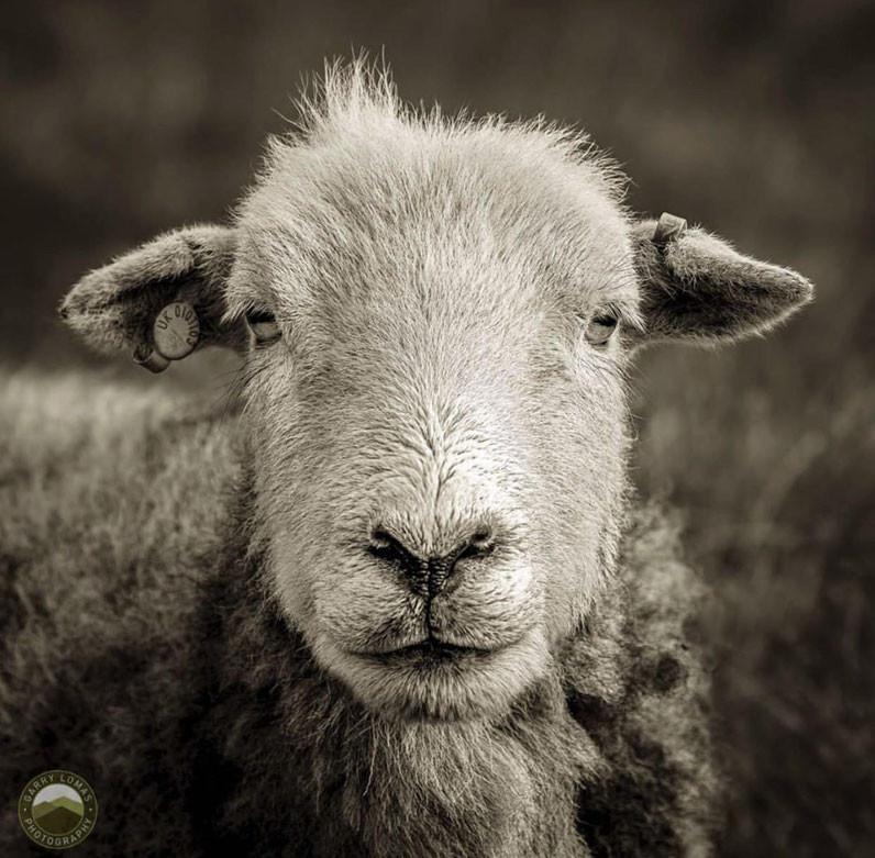 Herdy Herdwick Sheep lakeland sheep breed Lake District Cumbria photography