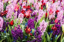 Keukenhof gardens - tulips, great hyacinth, grape hyacinth display