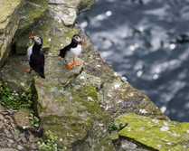Puffins on Orkney