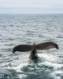 Adolescent humpback waving goodbye