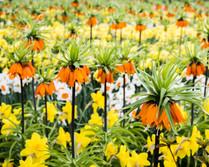 Keukenhof, fritallaria imperialis with daffodils