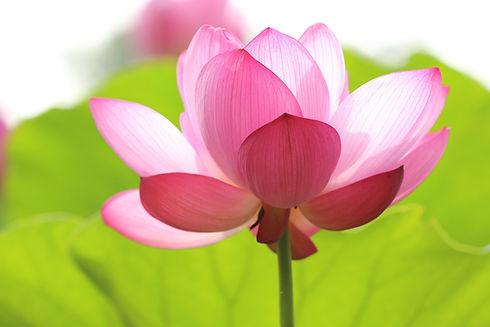 lotus-846059_1920.jpg