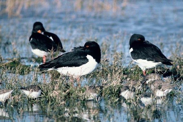 Oyster Catchers SBVictor