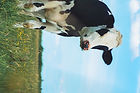 white%2520and%2520brown%2520cow_edited_e