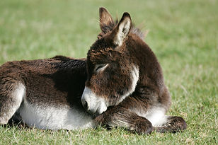 Miniature Donkey.jpg