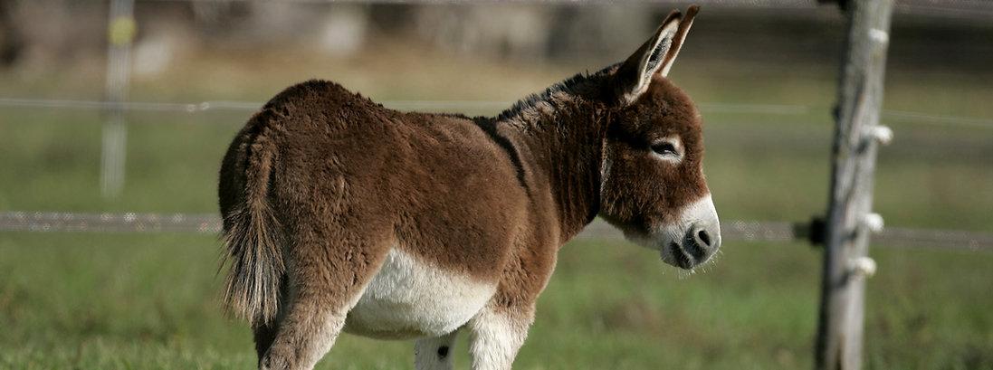 Miniature Donkey_bewerkt.jpg